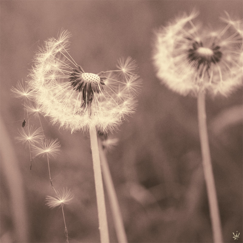 Dandelions (by Esther Wagner)