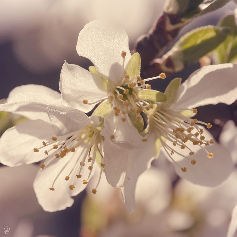Plum Blossoms (photo (c) Esther Wagner)