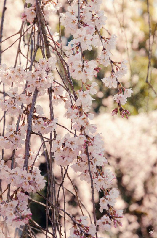 Sakura, Imperial Garden, Kyoto (photo (c) Esther Wagner)
