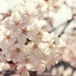 Sakura, Ueno Park, Tokyo (photo (c) Esther Wagner)